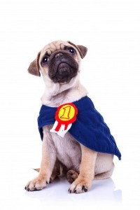 A dog wearing a cape fastened with a rosette bearing the number 1